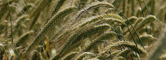 Wheat spikes for agricultural industry